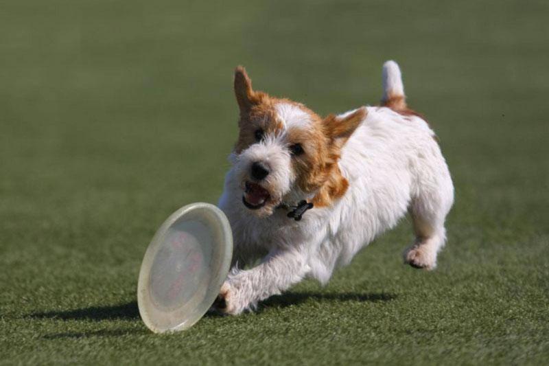 2. Chó sục Jack Russell (vận tốc tối đa: 72,4 km/h).