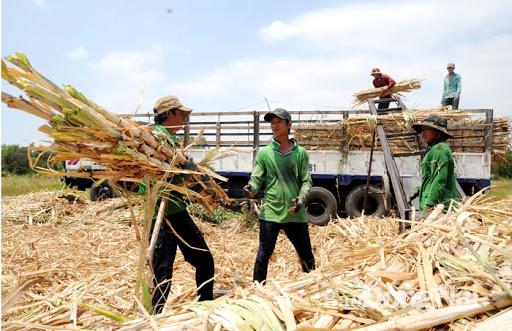 Giá mía đường tăng sẽ khuyến khích người nông dân quay trở lại với cây mía.