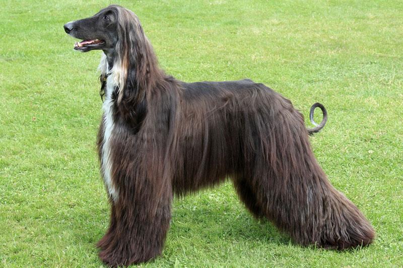 6. Chó săn Afghan (vận tốc tối đa: 64,3 km/h).