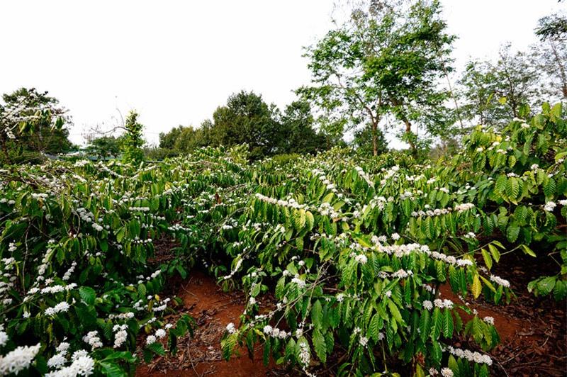 Hoa cà phê nở rộ ở thủ phủ cà phê ở Việt Nam. Ảnh: Diem Dang Dung.