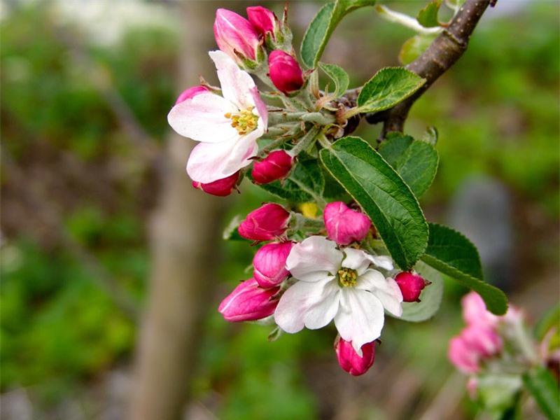 Hiện có hơn 7.500 giống táo.