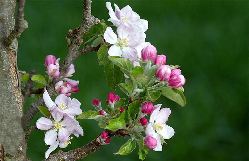 Giống khác nhau được phối giống cho thị hiếu khác nhau và sử dụng khác nhau, bao gồm nấu ăn, sản xuất nguyên liệu nấu ăn và làm rượu táo.
