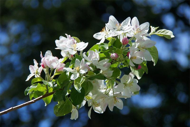 Táo thường được nhân giống bằng phương pháp ghép, mặc dù táo hoang dã vẫn mọc dễ dàng từ hạt giống.