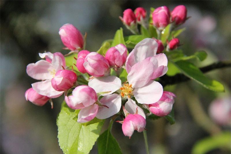 Cây táo có nguồn gốc ở Trung Á, nơi tổ tiên của nó - loài táo dại Tân Cương - vẫn còn tồn tại cho đến ngày hôm nay.