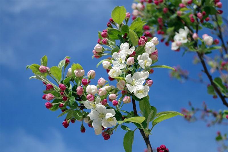 Táo đã được trồng từ hàng ngàn năm ở châu Á và châu Âu, được thực dân châu Âu đưa đến Bắc Mỹ.