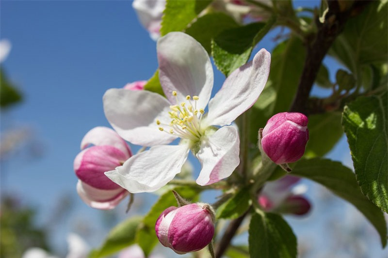 Cây táo tây thông thường cao từ 5 - 12m. Cây có tán lá rậm rạp.