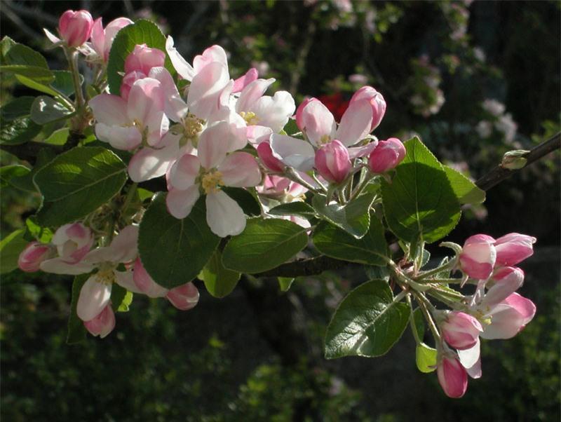 Hoa táo tây là loại hoa lưỡng tính, thường có màu trắng, trắng-hồng.