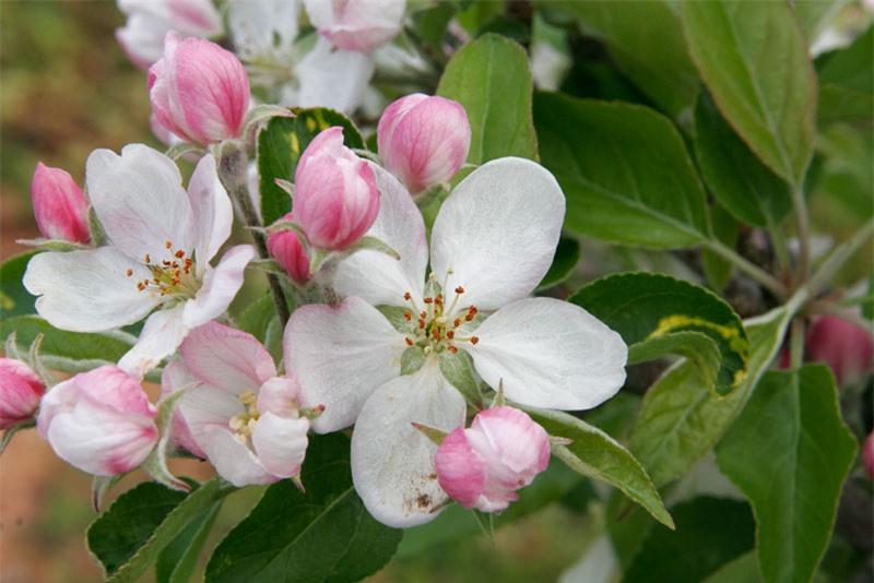 Hoa thường nở vào mùa Xuân.