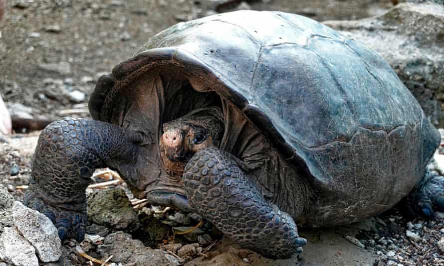 Cá thể rùa khổng lồ được phát hiện năm 2019 đã tuyệt chủng một thế kỷ trước. Ảnh: Getty.