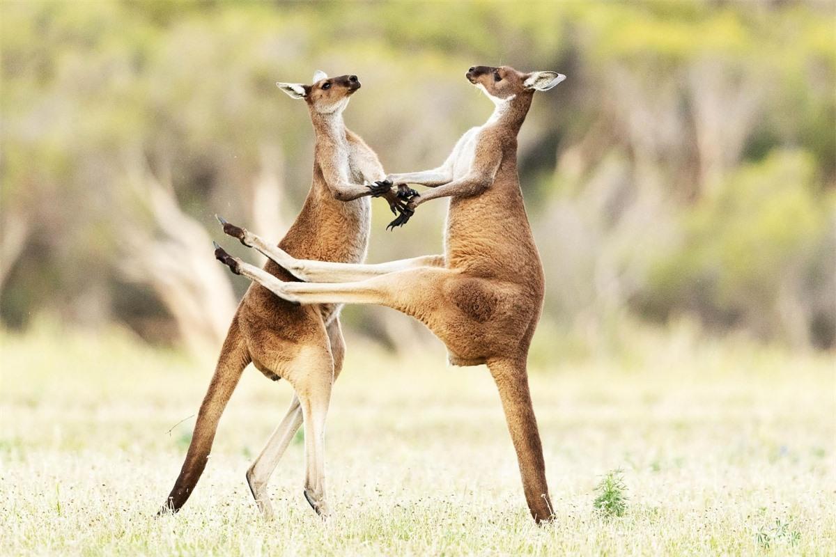 Nhiếp ảnh gia Lea Scaddan từ Perth, Australia đã ghi lại được cuộc chiến khá dữ dội của 2 chú chuột túi.