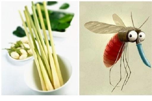Đuổi muỗi bằng củ sả