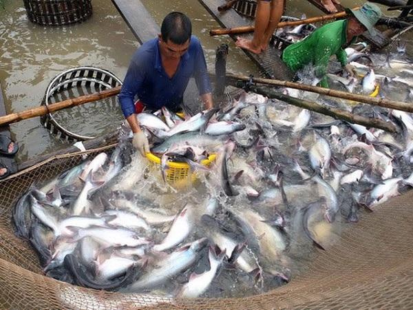 Gần 90% cá da trơn bán tại Mỹ là cá tra nhập khẩu từ Việt Nam (ảnh minh họa).