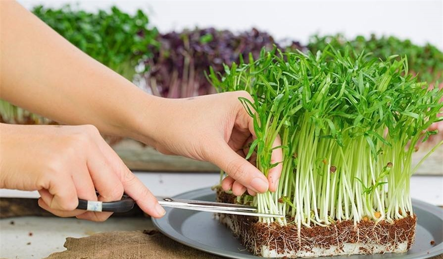 Ăn rau mầm thường xuyên có tốt không?