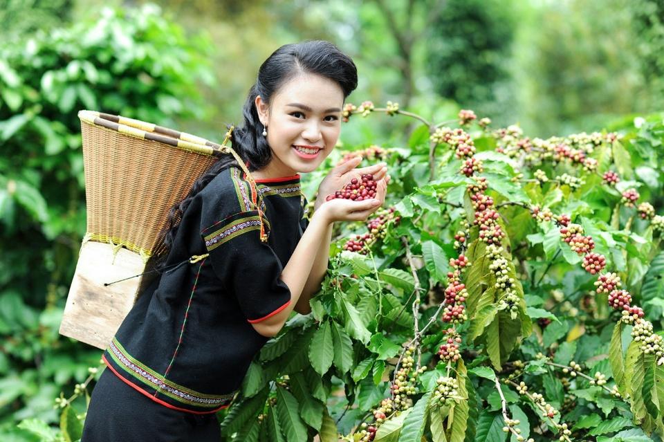 Đắk Lắk được xem là thủ phủ cà phê của Việt Nam, có thương hiệu cà phê Buôn Ma Thuột nổi tiếng. Điều kiện khí hậu và thổ nhưỡng thích hợp ở đây đã đưa cây cà phê chiếm thế độc tôn trong cơ cấu cây trồng của tỉnh. Theo trang thông tin Lễ hội Cà phê Buôn Ma Thuột, Đắk Lắk có diện tích cà phê hơn 204.000 ha, sản lượng thu hoạch hàng năm đạt khoảng 450.000 tấn, chiếm khoảng 37% sản lượng toàn quốc, xuất khẩu đến nhiều quốc gia, vùng lãnh thổ trên thế giới. Ảnh: Lehoicaphe.
