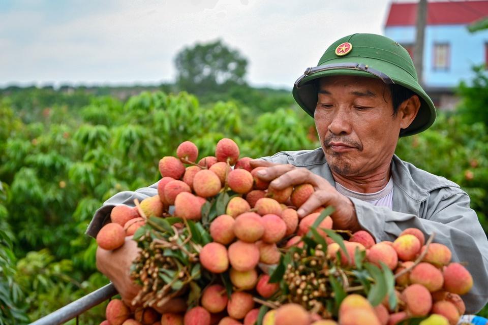 Bắc Giang được biết đến là thủ phủ vải thiều của Việt Nam. Theo Cổng TTĐT Bắc Giang, tỉnh này có vùng sản xuất vải thiều lớn nhất cả nước với diện tích hơn 28.000 ha, sản lượng ước đạt 180.000 tấn. Vải thiều Lục Ngạn của Bắc Giang là sản phẩm đầu tiên của Việt Nam được chính thức bảo hộ chỉ dẫn địa lý tại Nhật Bản. Ảnh: Việt Linh.