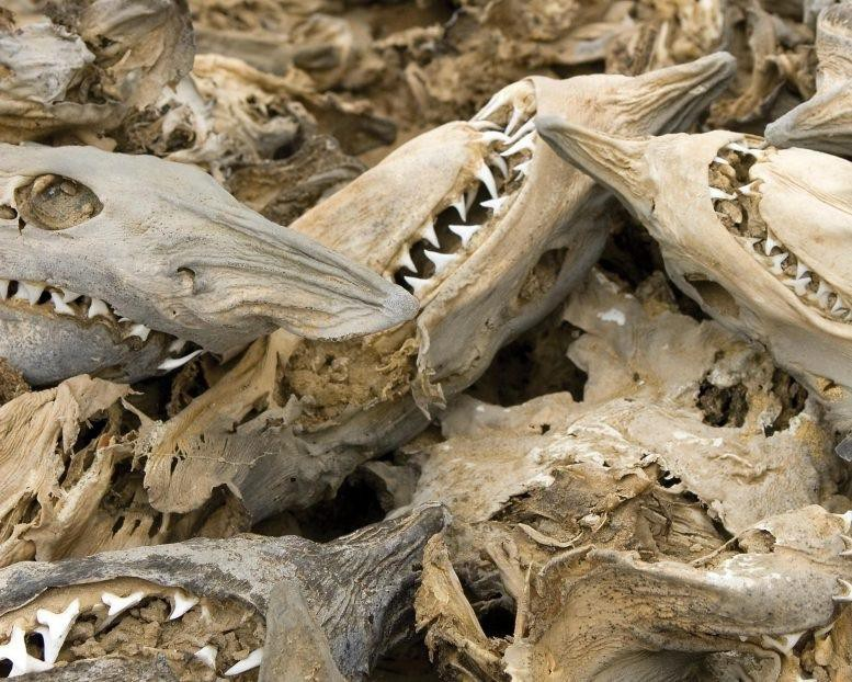 Các hóa thách cá mập đã giúp các nhà nghiên cứu phát hiện ra rằng loài này đã từng có một vụ hủy diệt hàng loạt cách đây 19 triệu năm.