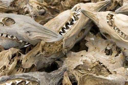 Phát hiện bất ngờ về vụ cá mập chết hàng loạt 19 triệu năm trước