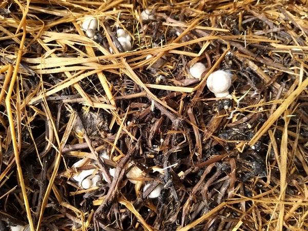 Sản phẩm nấm rơm được trồng 100% từ thân dây khoai lang.