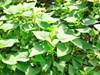 Trồng nấm rơm từ dây khoai lang: Đa dạng hóa nguyên liệu, thay thế rơm rạ để sản xuất nấm