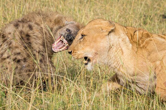 Linh cẩu phải bỏ mạng vì cả gan đuổi đánh sư tử.