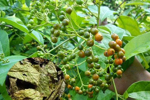 7 thảo dược quen thuộc ở Việt Nam nhưng có công dụng đặc biệt quý với sức khoẻ