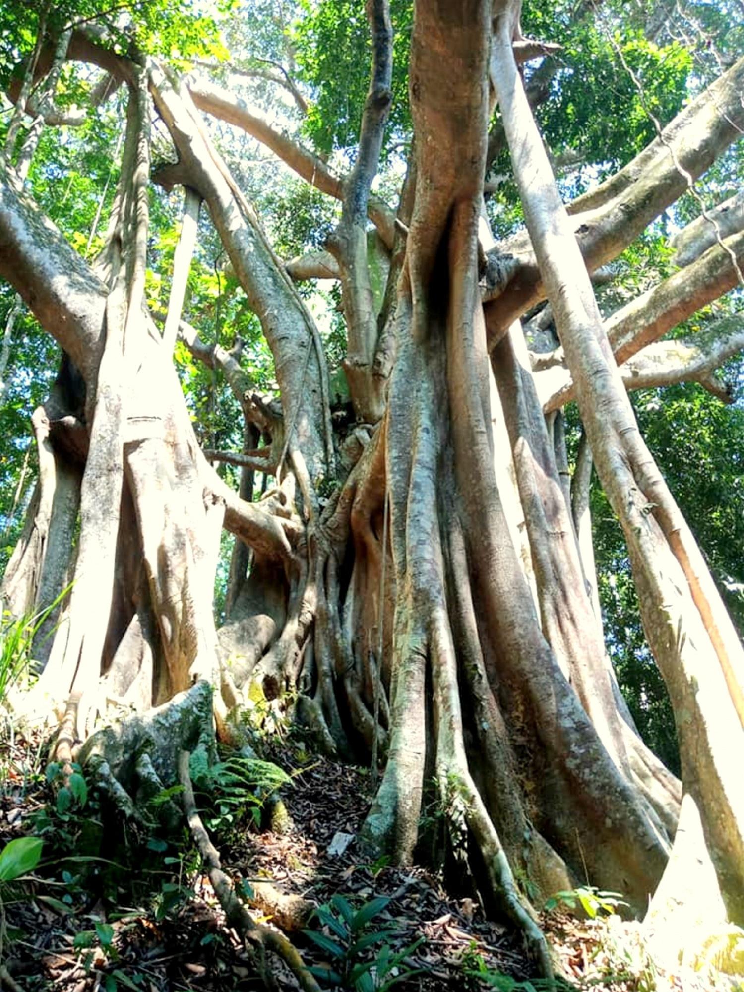 Bí ẩn rừng đa cổ thụ miền sơn cước