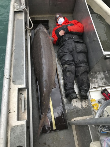 Con cá tầm lớn kỷ lục bắt được trên sông Detroit, tiểu bang Michigan, Mỹ. Ảnh: Cơ quan Bảo tồn Cá và Động vật hoang dã Mỹ.