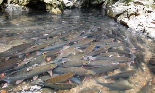 Suối cá thần Cẩm Lương - Điểm du lịch kỳ thú