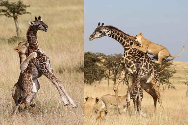 Sư tử tách mẹ con hươu cao cổ để làm thịt từng con