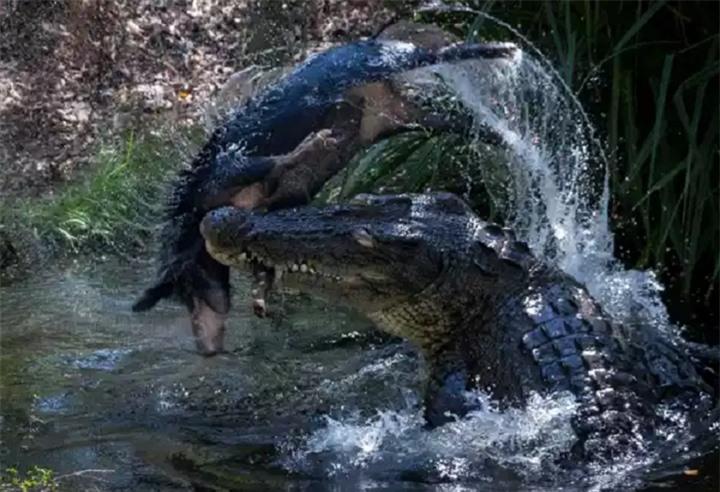 Cá sấu già hất tung lợn rừng lên không trung rồi làm thịt - 1
