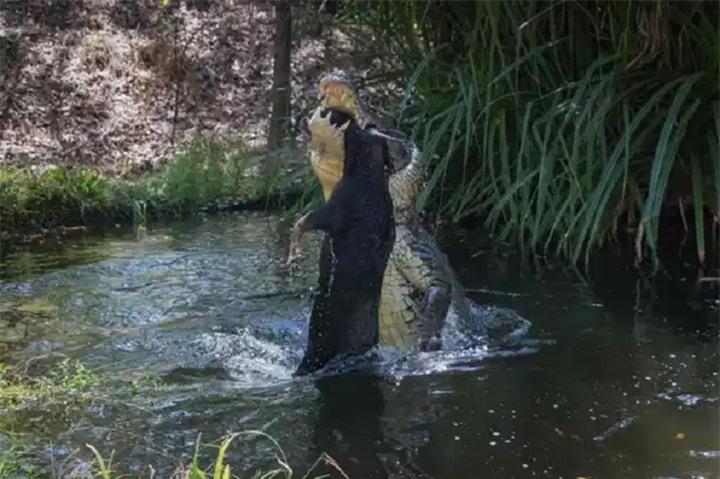 Cá sấu già hất tung lợn rừng lên không trung rồi làm thịt - 3