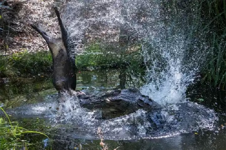 Cá sấu già hất tung lợn rừng lên không trung rồi làm thịt - 4