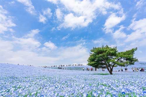 Thung lũng hoa mắt biếc đẹp như thiên đường, dạo bước cứ ngỡ đang đi trên mây