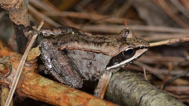 Ếch gỗ là một loài sinh vật Bắc Cực. Chúng đặc biệt vì có khả năng đóng băng vào mùa đông. Lúc đó, trái tim của ếch gỗ cũng ngừng đập. Khi nhiệt độ tăng lên, ếch gỗ từ trạng thái đóng băng, thức giấc và khởi động lại trái tim. Ếch gỗ là động vật duy nhất cho đến ngày nay có thể làm trái tim tạm ngừng hoạt động. Ngoài ra, chất lỏng trong cơ thể ếch gỗ có thể đông cứng và ngăn các cơ quan bị tổn thương.