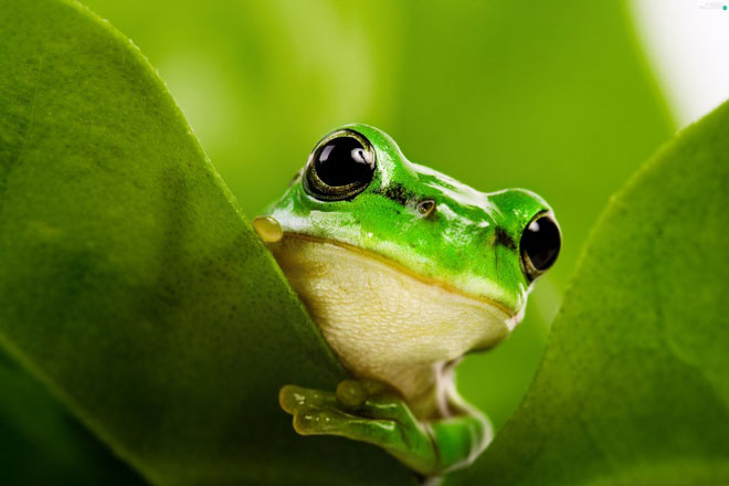 Trái tim của ếch có 3 ngăn, bao gồm 2 tâm nhĩ và một tâm thất, thực hiện nhiệm vụ lọc oxy để hô hấp. Ếch lấy oxy qua phổi và da. Máu đi nuôi cơ thể là máu pha.