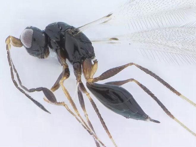 Ruồi chủ yếu được tìm thấy ở các vùng nhiệt đới. Những con ruồi cỡ nhỏ có tuổi thọ ngắn. Đặc điểm chính của loài này là chúng sở hữu trái tim nhỏ nhất thế giới động vật, khoảng từ 0,139 đến 0,55 mm. Trái tim nhỏ bé này chứa một ống hẹp dọc theo lưng của côn trùng, giúp dẫn máu về phía đầu. Tĩnh mạch, động mạch không được tìm thấy trong tim ruồi.