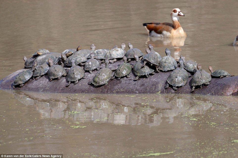 Hà mã nổi điên khi bị đàn rùa hàng chục con 'phục kích', leo lên lưng tắm nắng