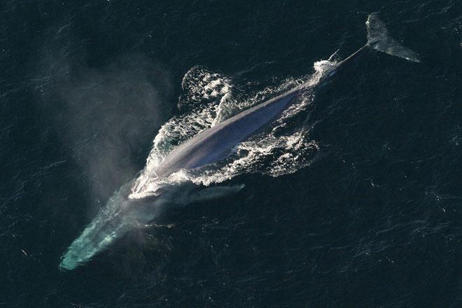 Là động vật biển có vú, cá voi xanh sở hữu trái tim khổng lồ với kích thước tương đương chiếc xe hơi dài hơn 1 m. Con người có thể bơi qua các động mạch của động vật khổng lồ này. Nhịp tim của chúng có thể nghe được cách đó hơn 3 km. Trọng lượng của trái tim cá voi xanh trung bình là 180 kg.