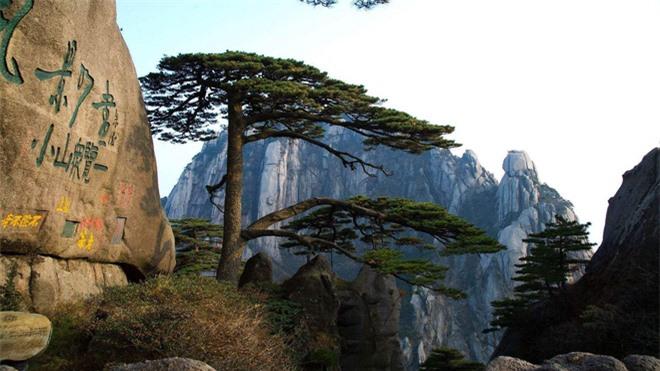 Thực hư về bảo vật hơn 800 tuổi được canh gác ngày đêm: Là một trong Ngũ độc của núi Hoàng Sơn - Ảnh 1.
