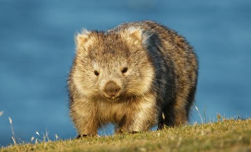 Wombat sống chủ yếu ở các khu vực rừng, núi và đất hoang phía đông nam Australia. Loài này khá dạn người nên du khách cũng như dân bản địa có thể dễ dàng tiếp cận, chơi đùa với chúng. Ảnh: Mentalfloss.