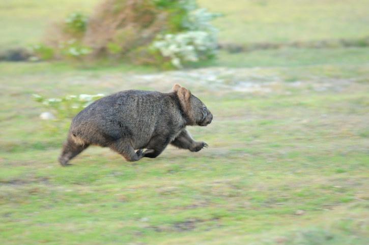 Wombat cũng nổi tiếng với tốc độ. Chúng có thể chạy nhanh tới 40 km/h, tức chỉ kém một chút so với Usain Bolt. Loài này được xem là con vật biểu tượng của Nam Australia. Nó chủ yếu sống trong các hang đất kéo dài hàng chục mét tự đào. Chân của chúng có những móng vuốt cứng, thích hợp cho việc đào bới. Loài này thường hoạt động về đêm, ăn rễ cây và cỏ. Ảnh: BuzzFeed.