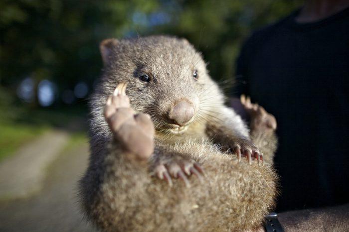 Ngoài ra, ngày 22/10 hàng năm cũng được chọn là ngày Wombat thế giới. Ngày kỷ niệm này chính thức bắt đầu từ năm 2005. Ảnh: Dreamstime.