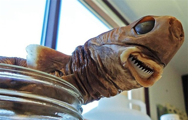 Cá mập cắt bánh quy, loài cá mập có kích thước chỉ bằng mèo nhà nhưng cắn hỏng cả tàu ngầm hạt nhân - Ảnh 1.