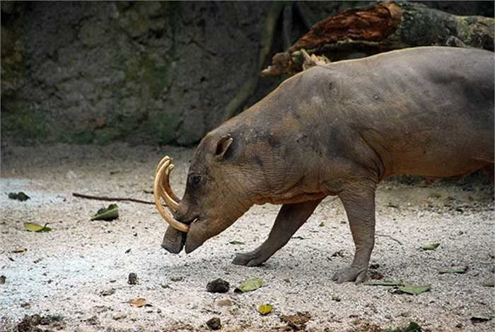 Lợn hươu đực thích sống đơn độc, tuy nhiên, lợn hươu cái thì lại thích bầy đàn.