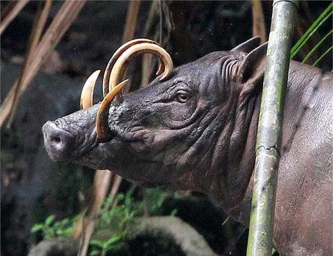 Lợn hươu hiện đang ở trong danh sách các loài đang gặp nguy hiểm bởi mất môi trường sống và sự săn bắt khốc liệt của con người.