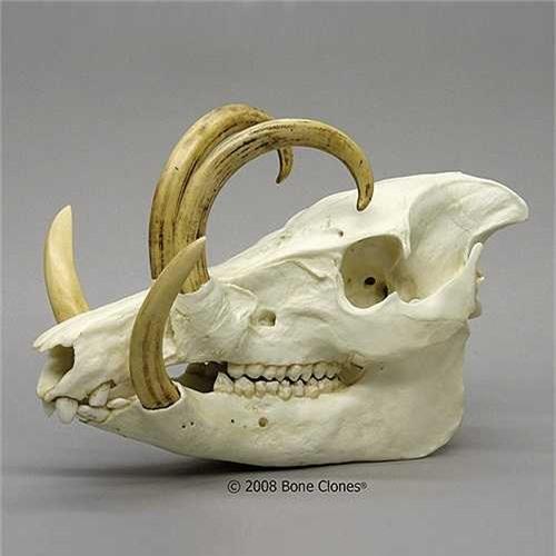 Hiện chúng được người Indonesia bảo vệ khá nghiêm ngặt. Việc săn bắn, giết hại lợn hươu là bất hợp pháp.