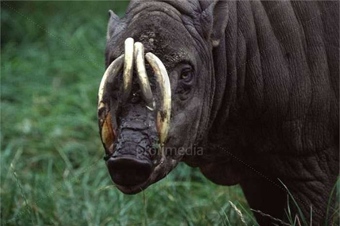 Chúng còn được gọi là lợn hươu, với danh pháp khoa học là Babyrousa babyrussa.