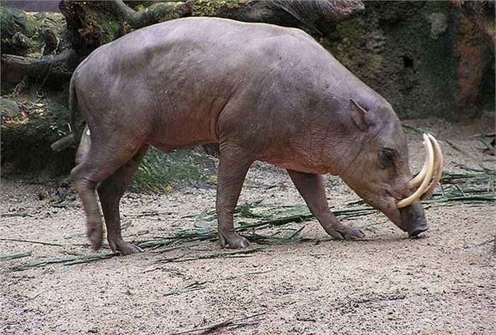 Lợn hươu có nguồn gốc ở Celebes và các đảo xung quanh của Indonesia. Nó là thành viên duy nhất trong chi Babyrousa.