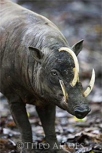 Cặp nanh trên của lợn hươu đực cong và lớn đến mức chúng nổi rõ qua lớp thịt, xuyên ra ngoài qua các lỗ để vượt qua phần đỉnh của mõm. Hai chiếc nanh trên sống mũi còn được coi là ngà.