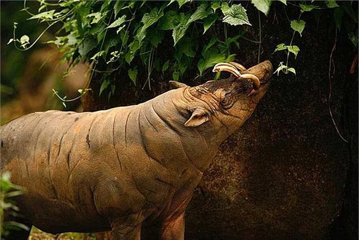 Điều thú vị là loài lợn này có tới 3 dạ dày. Vậy nên, chúng còn được biết đến là loài thú nhai lại.